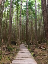 The trail starts out as a boardwalk with tall, skinny trees towering above.