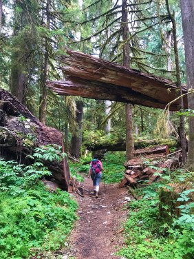 The Giant Trees of Olympic National Park