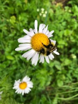 bumblebee on a daisy